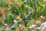 Blue-breasted bee-eater (Merops variegates variegatus)
