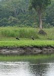 Wooly-necked storks (Ciconia episcopus)