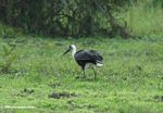 Woolly-necked stork (Ciconia episcopus) on grass