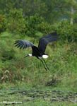 Wooly-necked stork (Ciconia episcopus) taking flight