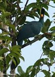 Great blue turaco (Corythaeola cristata) perched in tree