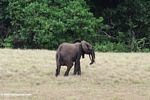Forest elephant on the savanna
