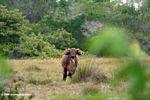 Forest buffalo (Syncerus caffer nanus) in Loango, Gabon