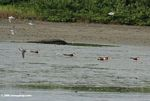 A group of African skimmers (Rynchops flavirostris) on a mudflat