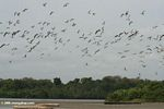 Many birds in flight in the Loango estuary