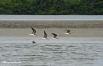 African skimmers (Rynchops flavirostris) in flight