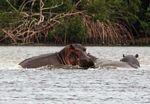 Hippos at Iguela