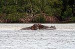 Hippos in the Loango estuary