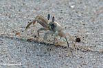 Atlantic Ghost Crab in Gabon