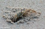 Atlantic Ghost Crab, Ocypode quadrata, emerging from a hole