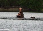 Hippo bearing its teeth at Iguela in a lagoon bordering Loango National Park in Gabon