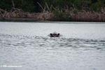 Partially submerged hippo