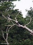 African fish eagle (Haliaeetus vocifer) perched in a dead tree above the Mpivie river in Gabon