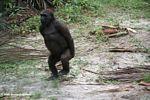 Dancing gorilla (part 3)