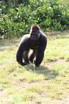 Silverback gorilla preparing to charge