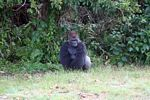 Silverback gorilla seated