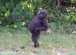 Young male gorilla posturing