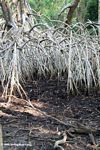 White mangroves