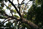 Rainforest canopy tree in Gabon