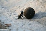 Dung beetle pushing a ball of dung