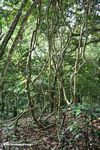 Vines in the rainforest