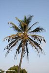 Weaver bird colony in a palm tree