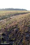 Fresh grass emerging from recently burned savanna in Gabon