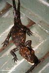 Juvenile slender-snouted crocodile, Crocodylus cataphractus, in Gabon