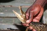 Juvenile Nile crocodile, Crocodylus niloticus, captured in Gabon