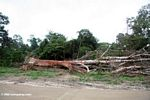 Emergent canopy tree felled for timber in Gabon