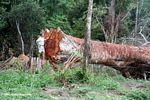 Giant rainforest tree felled but abandoned