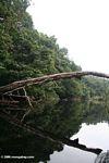 Tree fallen across the Mpivie river