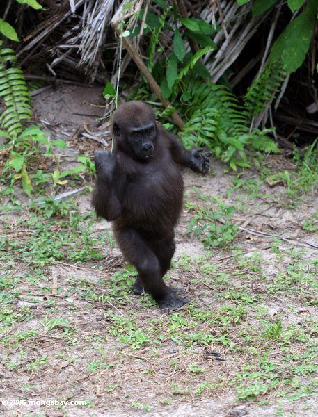 Tanzender Gorilla