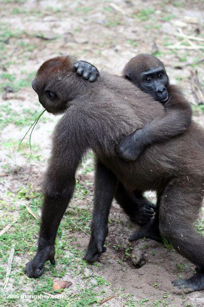 Zwei junge Gorillas, die Evengue-Gorillas