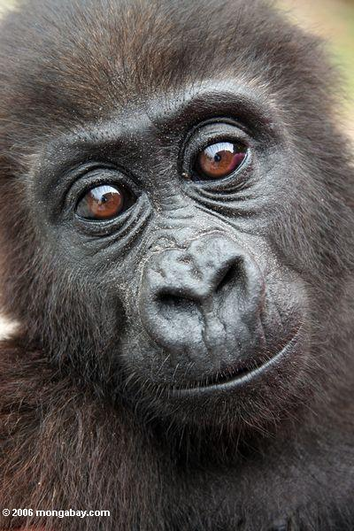 молодые равнинных горилл