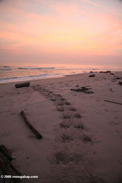 гиппопотам дорожек, ведущих в Атлантическом океане на закате
