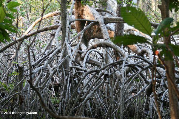 белый мангровых корней
