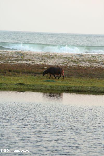 Afrikanischer Büffel, der auf einen Strand mit den Wellen einlaufen den Hintergrund Tassi