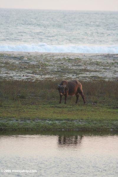 Büffel, der auf einen Strand am Sonnenuntergang einzieht