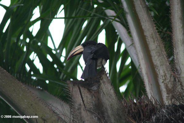 Pied hornbill (Tockus fasciatus fasciatus) not the Piping hornbill, Bycanistes fistulator sharpii