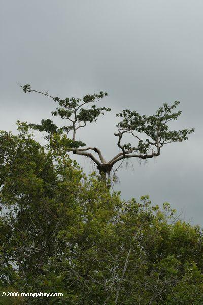 Adlernest im überdachungbaum