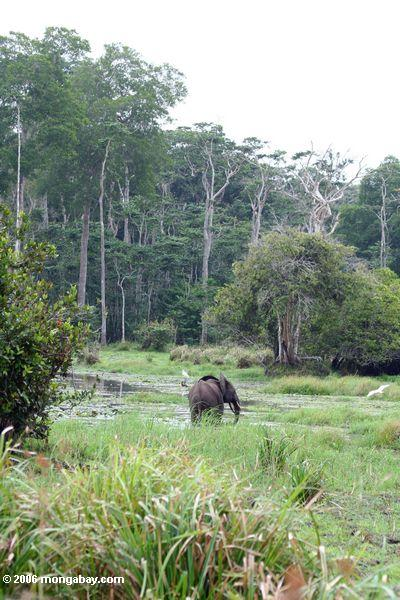 African Forest Elephant (Loxodonta africana cyclotis) in swamp