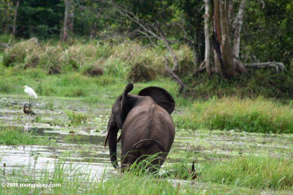 Forest elephant in a swampy area in Gabon