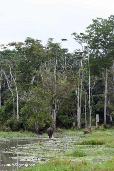 Forest elephant heading toward the jungle in Loango National Park