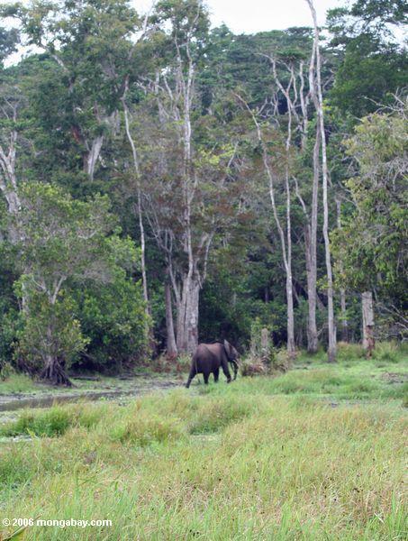 Título africano do elefante da floresta (cyclotis do africana de Loxodonta) do swamp na floresta de chuva