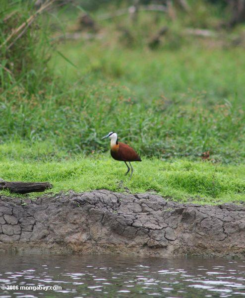 Африканский jacana (actophilornis africana) на берегу реки