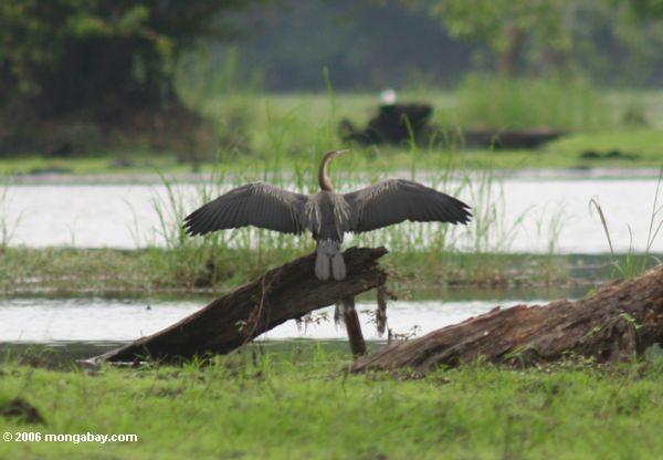 Afrikanisches darter, das seine Flügel vor Flug trocknet