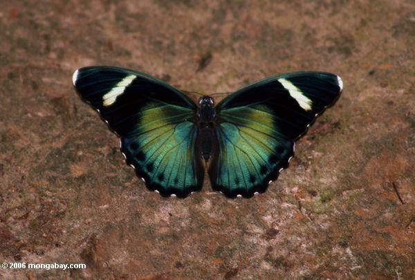 Blauer und grüner Schmetterling