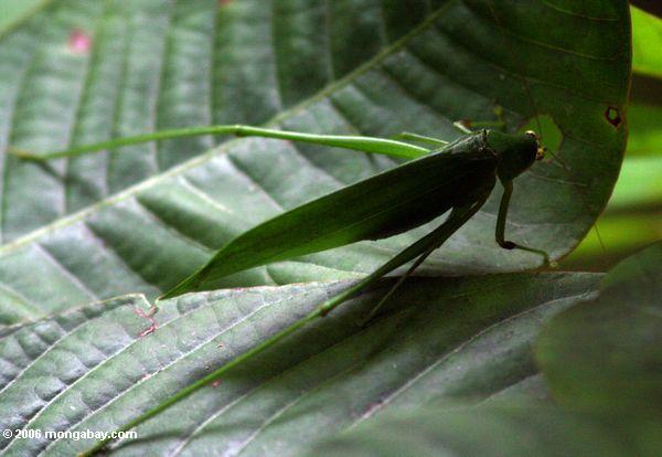 зеленый зеленый кузнечик с желтыми глазами