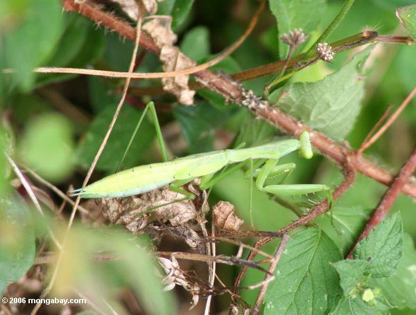 Hellgrünes mantid Insekt